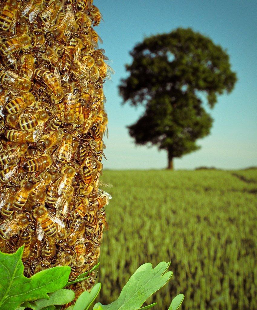 Bee-Swarm-7