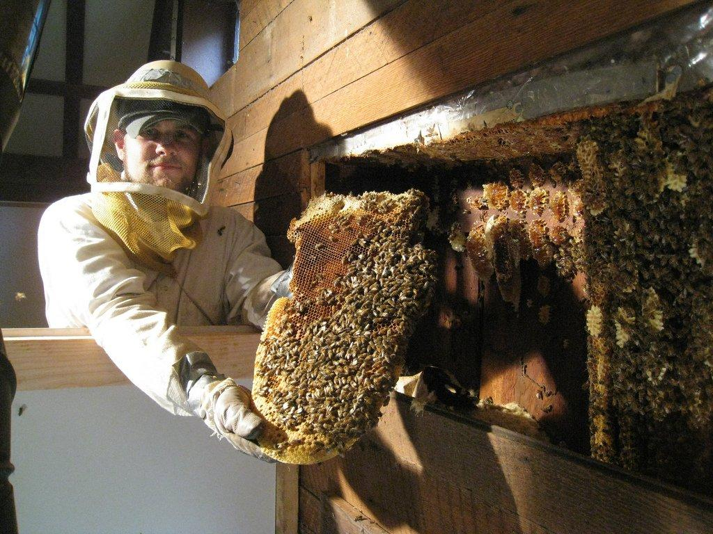 How to remove bees safely the bee removers bee removal wasp bee solutioingenieria Gallery