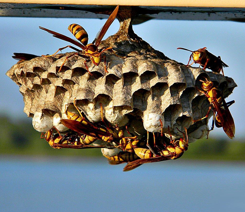 Wasps-3