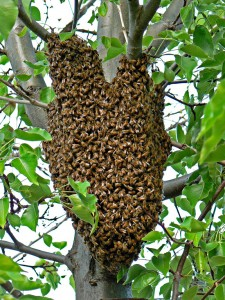 Bee Removal In Santa Monica Orange County And Los Angeles