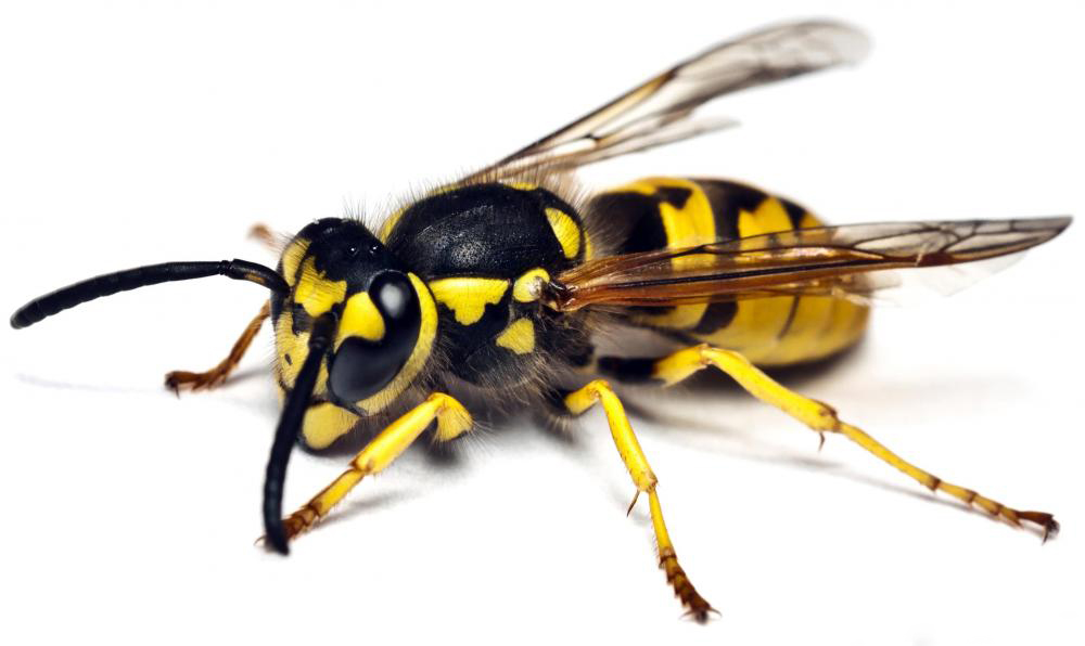 They Are Recognized By Yellow And Black Stripes Most Often Found In Trees Shrubs But Become More Of A Problem When Take Refuge The