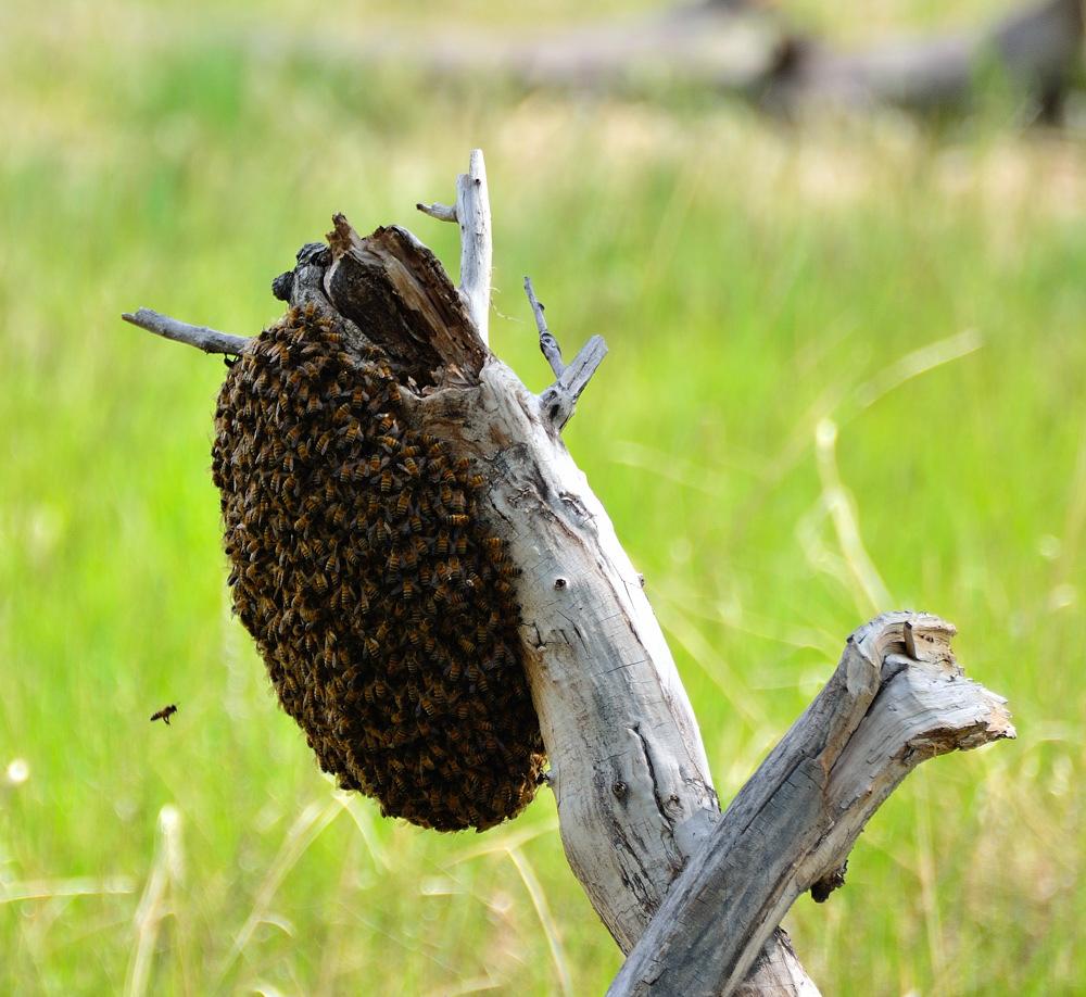 Bee-Swarm-91